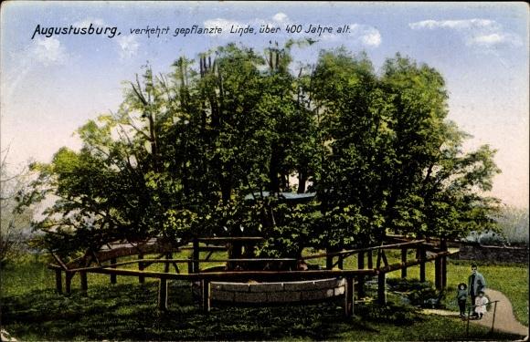 Augustusburg im Erzgebirge, Verkehrt gepflanzte Linde, Zieher