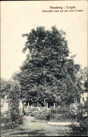 Annaberg Buchholz Erzgebirge, Historische Linde auf dem alten Friedhof